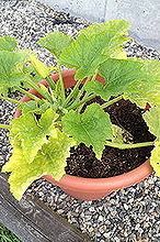 compost tea, container gardening, gardening, Needs Nitrogen
