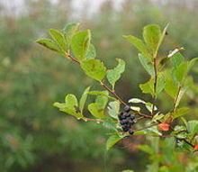 does anybody know what this berry is and whether or not you can eat it, gardening, unidentified berries