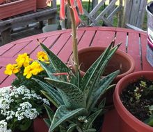 gardening, container gardening, flowers, gardening, succulents, Zebra Aloe which my Husband wanted Can t take the South Texas gardener out of him