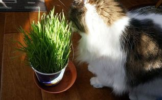 growing wheat grass for cats and dogs, gardening, homesteading, pets animals