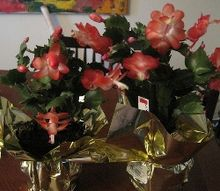 q potting more than one christmas cactus in the same pot, christmas decorations, gardening, seasonal holiday decor, My new Christmas Cactuses Sunset Dancer