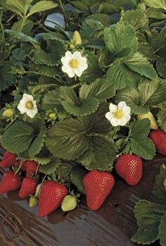 growing your own strawberry patch, container gardening, gardening, Look for ripened fruit with no green or yellow skin