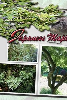 beginner s guide to japanese maples, gardening, Beginner s Guide To Japanese Maples
