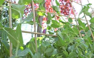 making a woven trellis, gardening, Reach for the sky peas That trellis is sturdy enough to hold you all