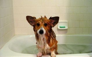 skunked how to deskunk your dog, go green, Our Corgi Maggie Sadder but wiser we think