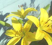 flowers, flowers, gardening, my Lily
