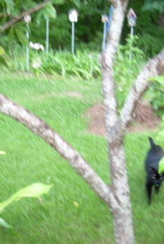 peach trees, gardening, The structure of the heavily laden peach tree The left limb is the one that is dragging