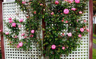 expert advice for building a lattice trellis in your garden, diy, gardening, how to, landscape, outdoor living, Allow roses and other climbing plants to climb the lattice trellis Photo Sirwiseowl Flickr