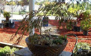 pot rambling, container gardening, flowers, gardening, hydrangea, perennials, Japanese Maple bonsai under planted with mondo grass and sedum