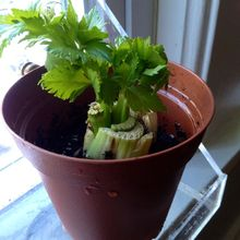 regrow celery yes you can, gardening, urban living, Regrowth on celery stalk 2 days