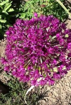 perennial giants, flowers, gardening, perennials, Alliums or ornamental onions There are some real giants out there and the bees love them too
