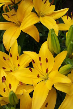 part 2 of album practically care free flowers amp showstoppers, flowers, gardening, perennials, Lily Perennial Botannical Name Lilum Mostly Sun to Partial Shade They multiply each year as well as grow in height