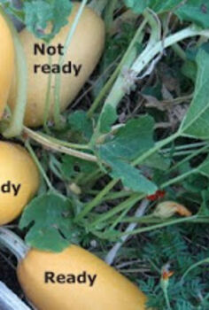 when to harvest spaghetti squash, gardening