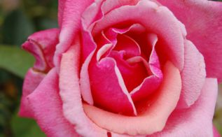 all rose no thorn 3 key spring rose care tips for top blossoms, flowers, gardening