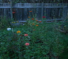 trimming arborvitae, gardening, This is the fence I removed the arborvitae from Side note these wildflowers came up in my strawberry patch