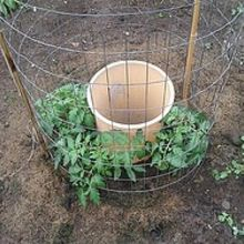 tomatoes and their need for water, gardening, May 28th 2012