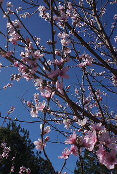 q is this a good time to spray my fruit trees for insects and diseases, gardening, pest control, Peach trees in 2014