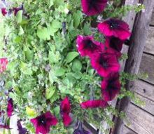 gardening, gardening, succulents, Update on my Purple Petunias and Bacoba Yesterday it was full of blooms