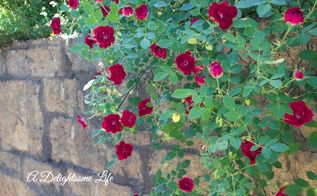 surrounded by roses, gardening