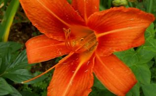 more amazing summer time flowers, flowers, gardening, Orange day lilies