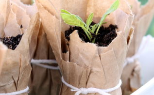 compostable brown paper seedling pots, gardening