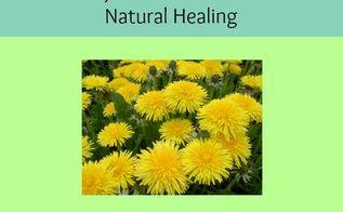 using dandelions for natural healing, gardening