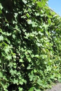 grape harvest, gardening, The whole south side of the deck