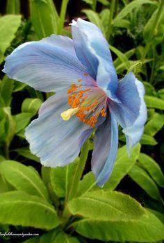 himalayan blue poppies a gardener s dream, gardening, Himalayan Blue Poppy