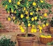 q hometalkers advice for growing my own lemon tree s indoors, gardening, Meyer Lemon Tree
