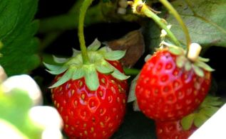 the 5 easiest and yummiest fruits to grow in a container garden, container gardening, flowers, gardening, Strawberries are a treat when they re growing right outside the patio window Easier to grow that you think