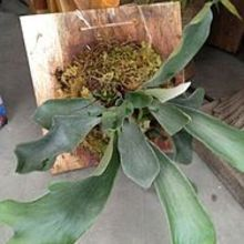 how to mount a staghorn fern, gardening, Mounted Staghorn Fern