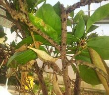 orange tree is this a problem, gardening, See the little black nodes on the branches