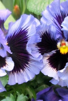spring fever, gardening, I will be looking for these ruffled purple pansies again this spring