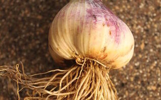 how to grow cure and store your own garlic, gardening, Fresh Garlic just harvested from our garden