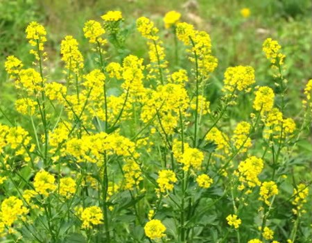 Image result for Mustard plant