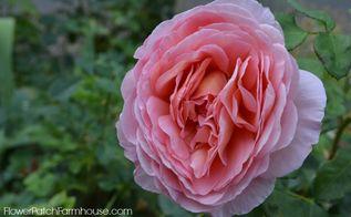 september flowers summer is still here, flowers, gardening, Abraham Darby Rose