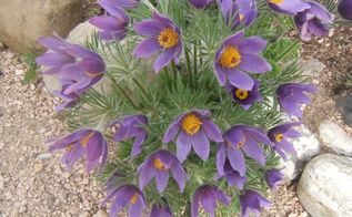 bee friendly plants from a bee breeder, gardening, Pulsatilla is loved by bees in the Spring