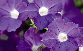 new 2013 annuals from the pw website, flowers, gardening, purple vinca