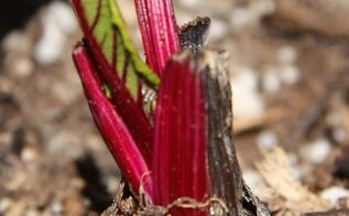 growing beets from kitchen scraps, container gardening, gardening