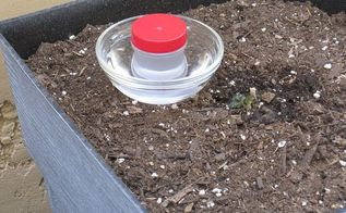 fun and low cost hummingbird feeders, gardening, Filled with sugar water sitting inside a bowl of water waiting for a thirsty bird