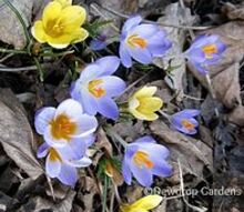 finally spring blooms, gardening, Purple and yellow crocus
