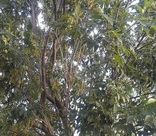 can anyone identify this deciduous tree, flowers, gardening, Canopy of tree