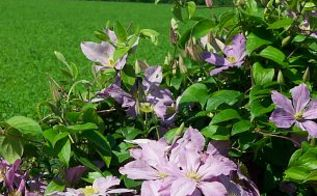 my yard flowers birds and awesome ideas, flowers, gardening, Clamatis along the fence line