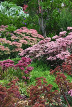 sedums add color to the late summer garden, flowers, gardening, Different varieties of sedums can be mixed to great effect