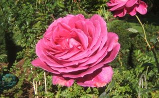 easy tips on how to prune your roses, gardening, For large and numerous blooms roses should be pruned annually