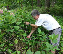 pruning mophead hydrangeas, flowers, gardening, hydrangea, notice how tall they are