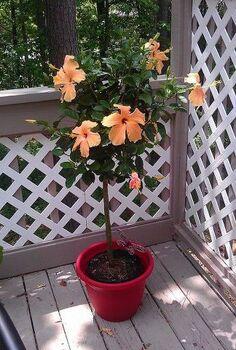 overwintering plants hibiscus, flowers, gardening, hibiscus, Before