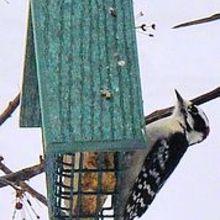 homemade suet for feeding birds in winter, diy, outdoor living, pets animals