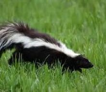 striped skunk, electrical, pets animals, Striped Skunk