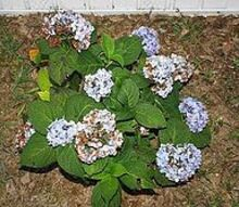hydrangea s are they dying, flowers, gardening, hydrangea, they bloomed good and i know the flowers will die but something is eating the plant up